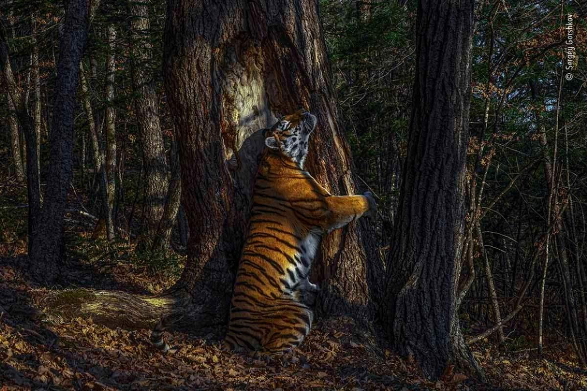 tigre-abbraccia-albero